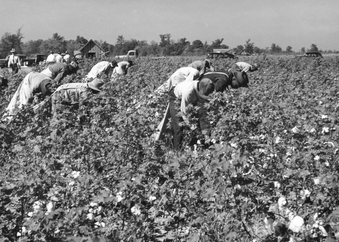 Picking_cotton_Wildwood